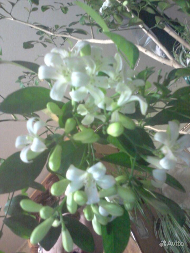 цветущий мирт