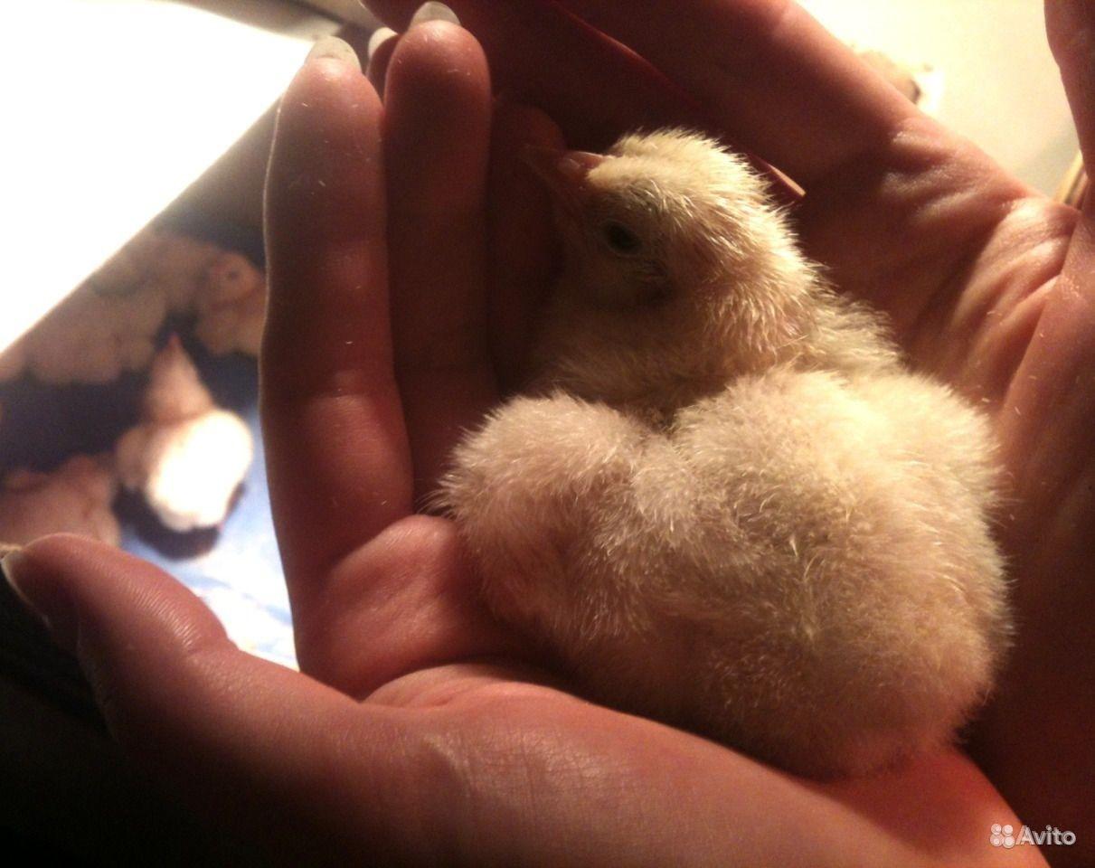 Цыплята бройлера в Ростовке - фотография № 4