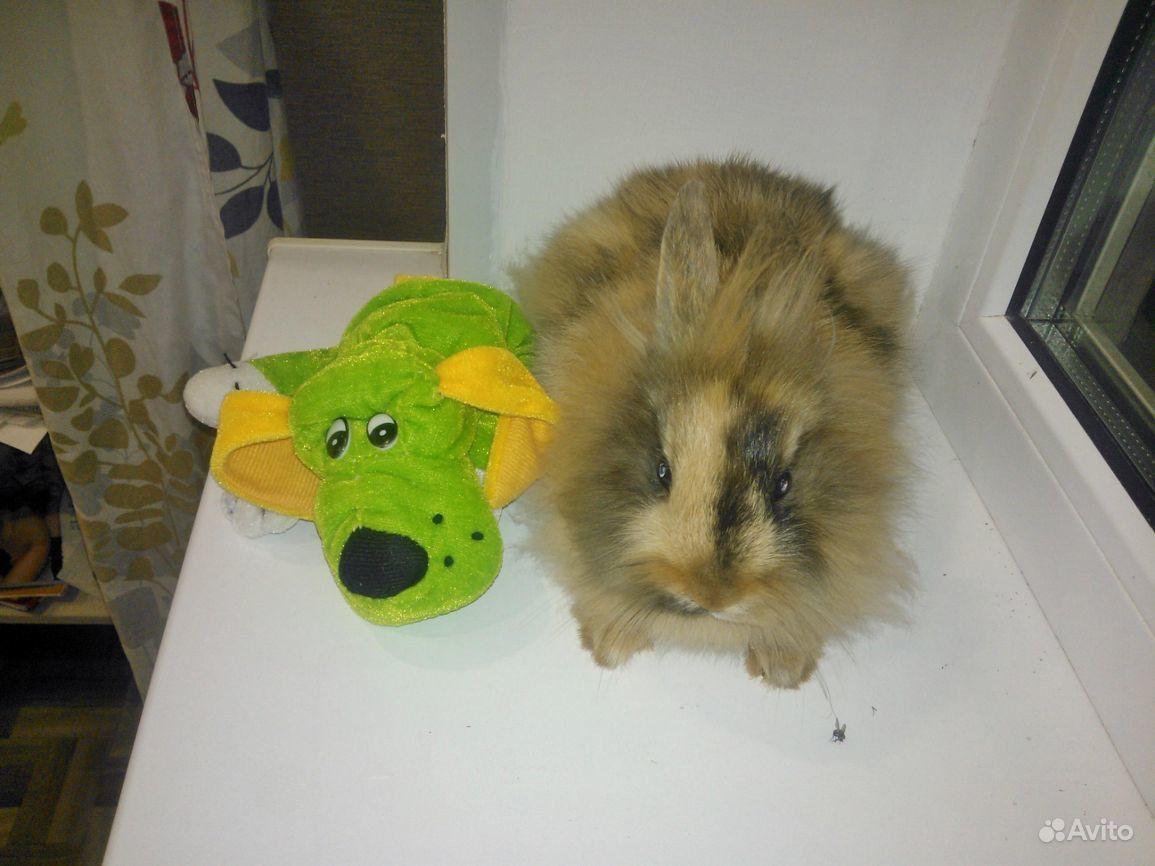 Декоративные кролики в Шебекино - фотография № 4