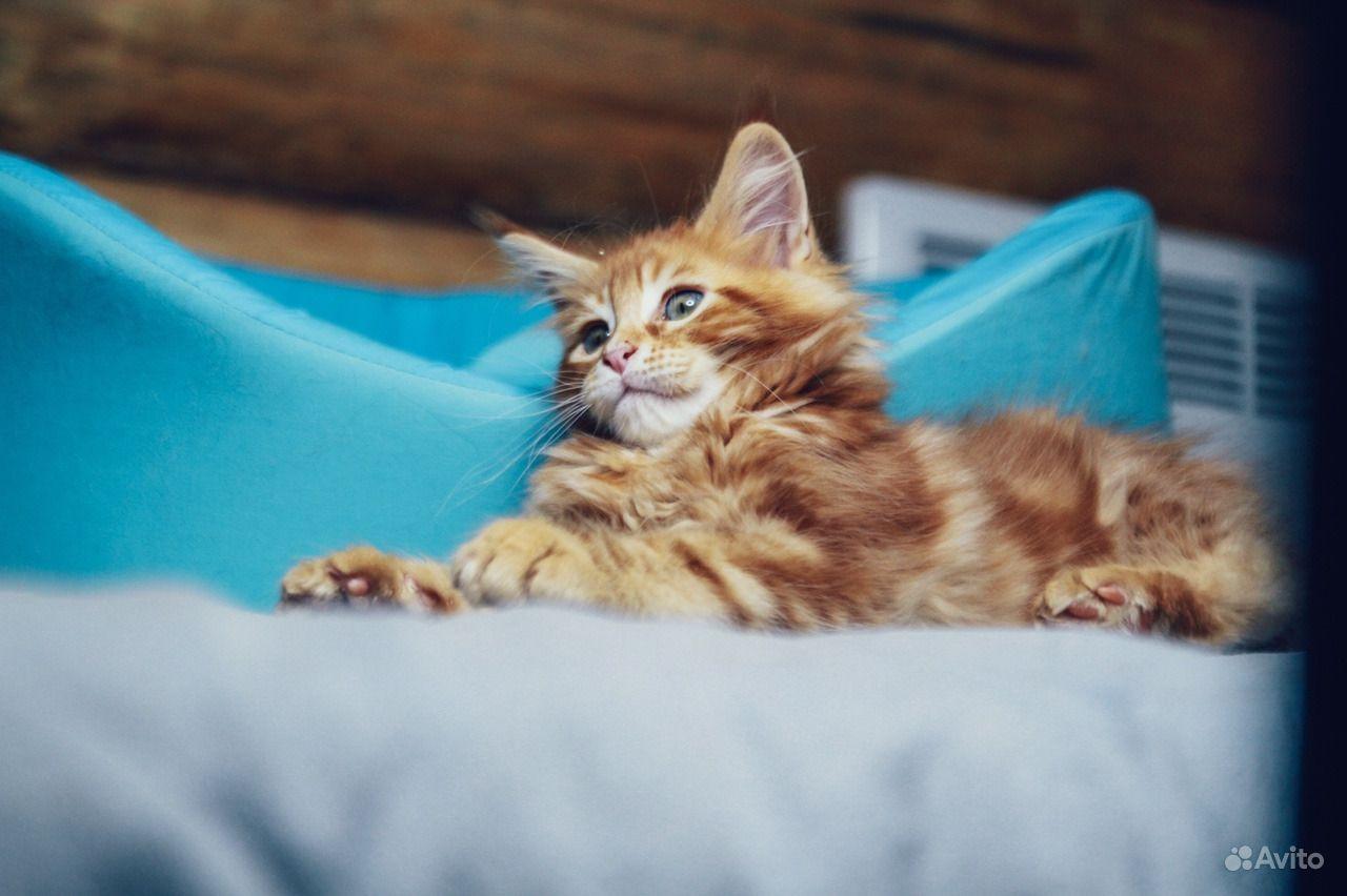 Мейн-кун котенок обаяшка в Москве - фотография № 4