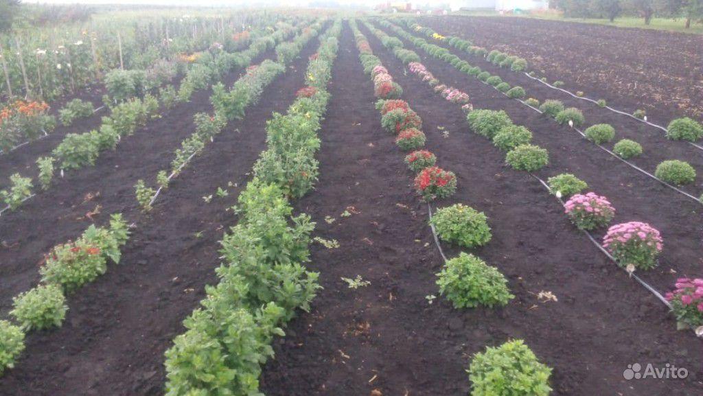 Хризантемы купить на Зозу.ру - фотография № 2