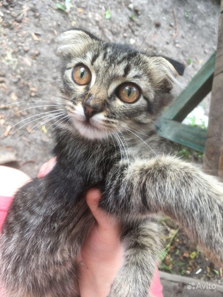 Двое котят, вислоухий мальчик, и девочка 2 месяца