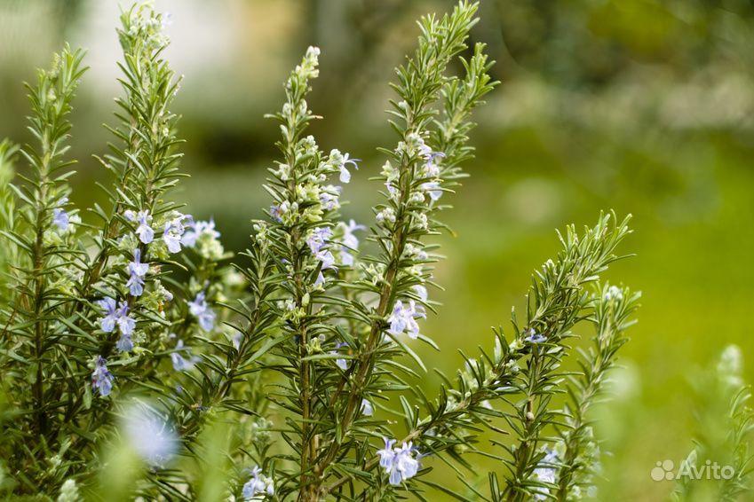 Растения купить на Зозу.ру - фотография № 2