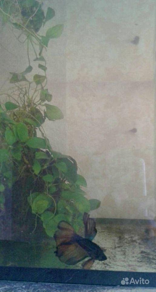 Лимнофила кабомба анубиас петушки Мотыль коппенс купить на Зозу.ру - фотография № 2
