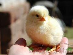 Цыплята от фабрики (бройлеры)