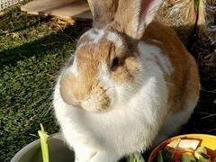 Кролик Эйван