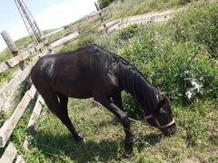 Лошадь Къ