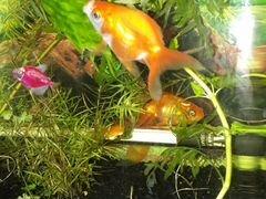 Аквариум 16 л.с рыбками