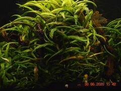 Аквариумное растение криптокарина
