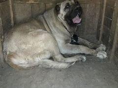 Собака щенок армянского волкодава-гампра