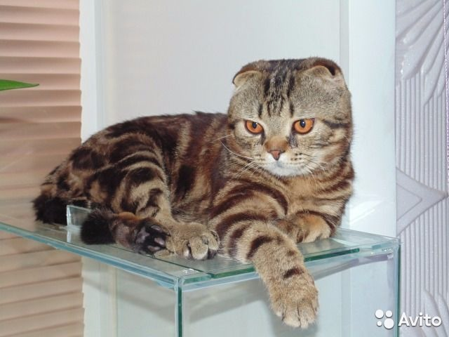 Вязка шотландской кошки с котом авито