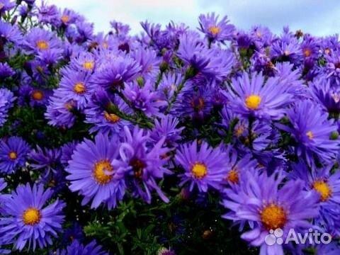 Цветы сентябринки купить краснодар акция ещё один повод купить розыгрыш 14 января