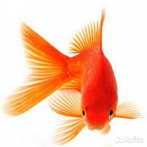 Золотые рыбки купить на Зозу.ру - фотография № 1