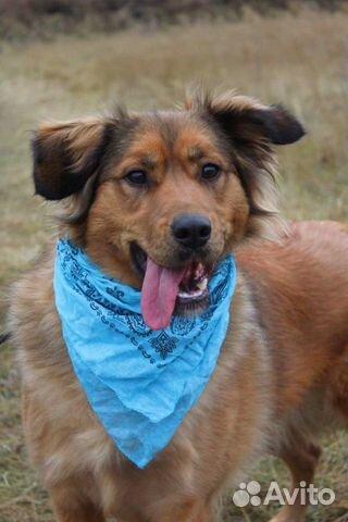 Рыжая собака красотка Джесси в дар купить на Зозу.ру - фотография № 2