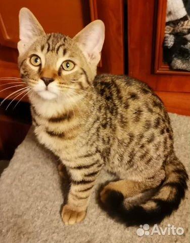 Продается Бенгальский котенок (мальчик) купить 2