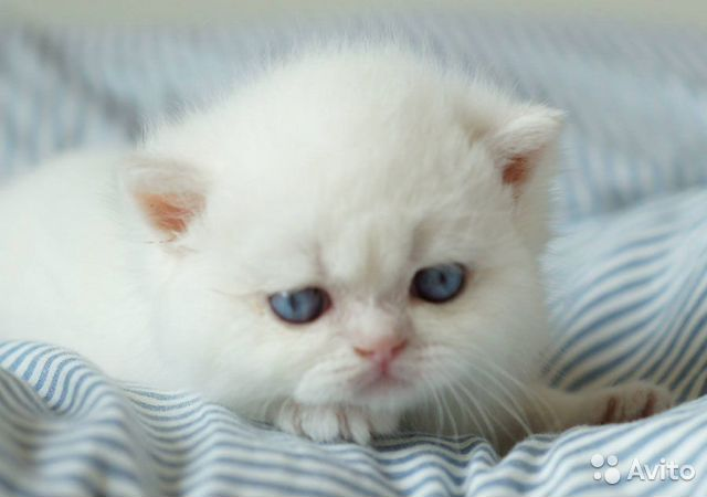 Породистые британские котята