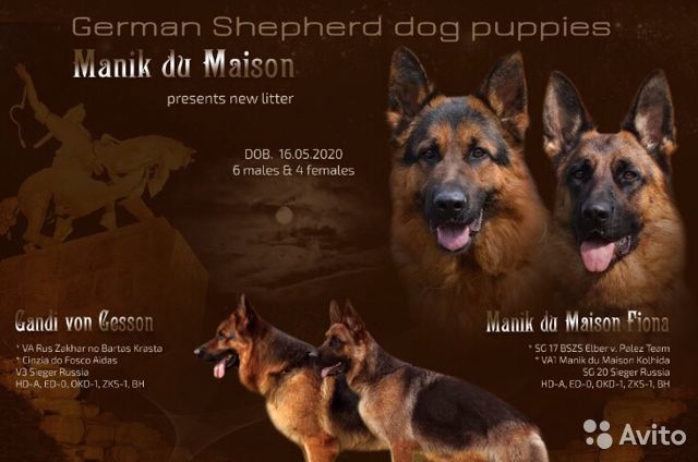 German shepherd 89050008081 buy 1