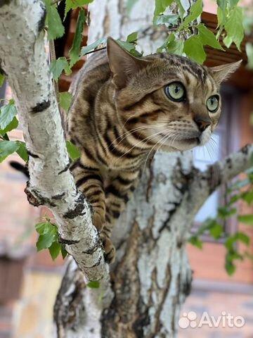 Бенгальский котик вязка  купить 3