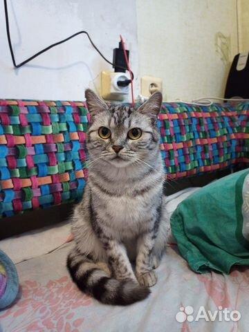 Кошка шотландка прямоухая