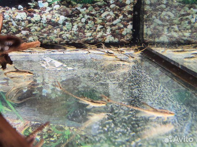 Поступление рыбы аквариумной  купить 5