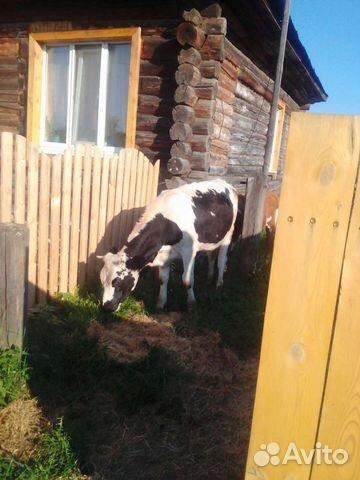 Продам коров  89120629184 купить 1