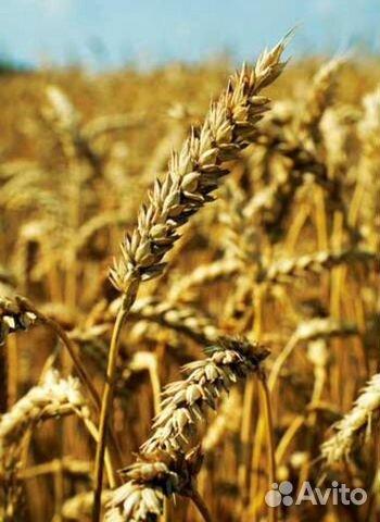 Семена пшеницы сорта Скипетр (элита)  89205007880 купить 1