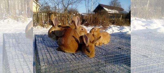 Кролики бургундские, калифорнийские, на племя, раз