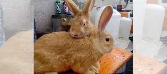 Кролики калифорнийские, серебристые, бургундские