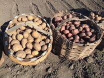Картофель деревенский, картошка