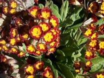 Уличные растения. Примулы и другие