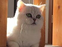 Кот для вязки британской породы