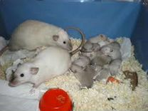 Сиамские И голубые крысята дамбо