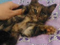 Отдаем котят (кошечек трехцветных) в добрые руки