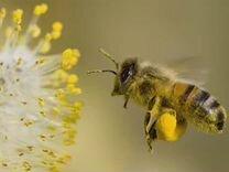 Пыльца цветочная (обножка)