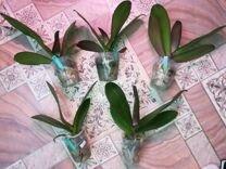 Орхидея фаленопсис qween cat