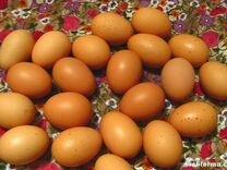 Яйцо породных кур