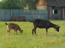 Козы -первокотки, козочки, козлики