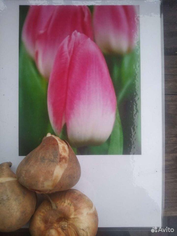 Тюльпаны  89500511750 купить 2