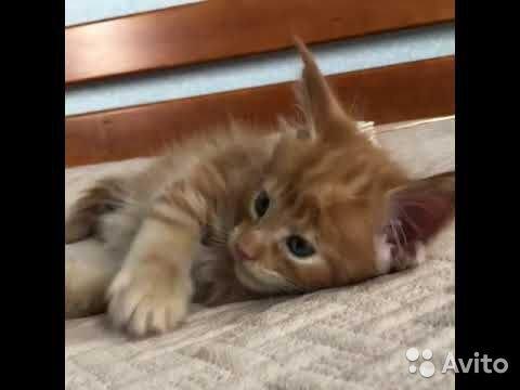 Отдам кошку породы мейн-кун в надежные и добрые ру
